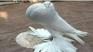 World Most Beautiful 60 Pigeons and doves Birds In The World Videos & Pictures On Internet