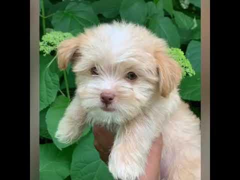 Pawfect Puppy Boutique Shorkie Puppy