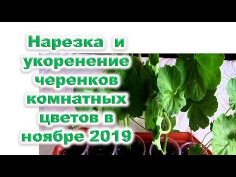 Нарезка черенков и укоренение черенков  комнатных цветочных растений в ноябре 2019 года - лучшие дни