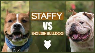 STAFFORDSHIE BULL TERRIER VS ENGLISH BULLDOG