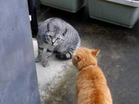 【猫のくち喧嘩 信じられないほど可愛い声で喧嘩する猫!】Cat fight