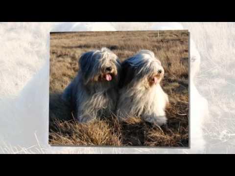Polish Lowland Sheepdog Dog breed