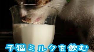 一生懸命飲みますが、まだまだ下手くそですね。 あごにミルクがいっぱい...