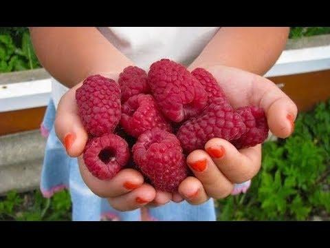Как развести крупную,вкусную малину,плодоносящую до морозов