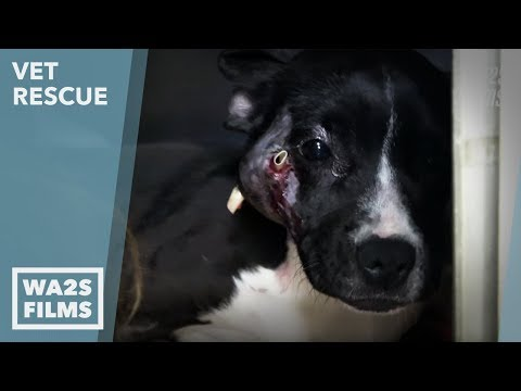 Stray Dog Hit By Car Rushed To Vet Hospital By Detroit Pit Crew on Paw Patrol: Ep 8 VET Rescue