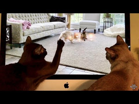 Burmese Cats Watch and React to Their Own Video!
