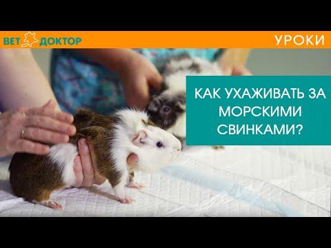 Все про морских свинок в домашних условиях