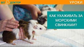 Морские свинки. Уход и условия содержание в домашних условиях. Советы ветеринара