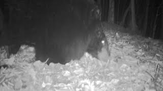 Wild Black Bear Spotted in East China