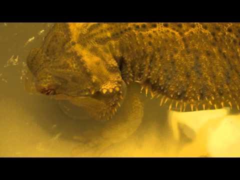 Bearded Dragon Drinking Water