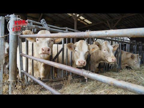 Exemple d'un élevage bio charolais