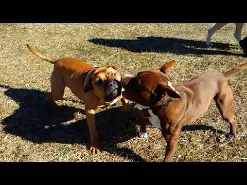 Pitbull vs. american staffordshire terrier