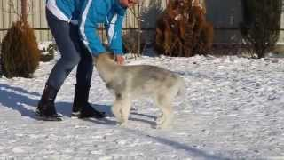 Щенок сибирского хаски / Siberian Husky Puppy - Aston Martin Kingdom Navjord