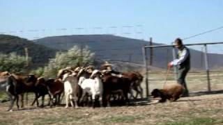 [Spanish Water Dog Herding - Perro de Agua Español Herding Competition]