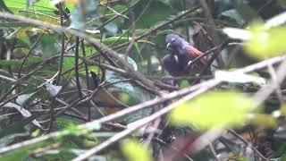 Chestnut Winged Babbler