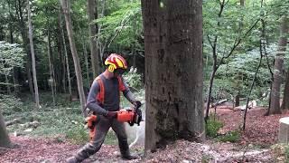 Stihl ms 462- beech tree felling