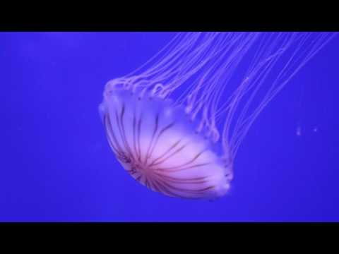 Japanese Sea Nettle - L 'Oceanográphic, Valencia, Spain