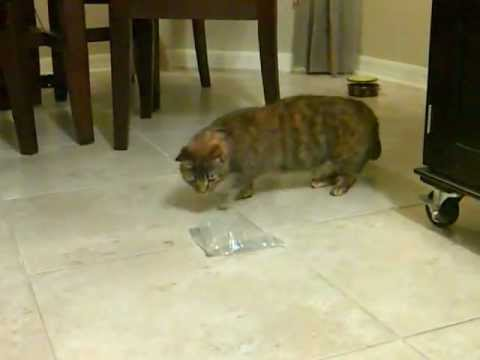 epilepsy in cats