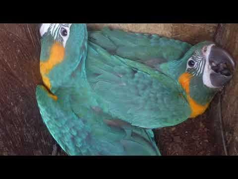 Laney Rickman Blue-throated Macaw Nestbox Program 2019-2020