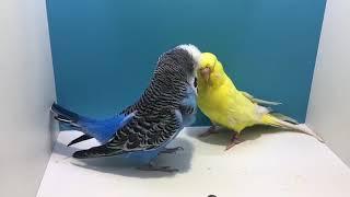 Muhabbet kuşu kızıştırma ve çiftleştirme