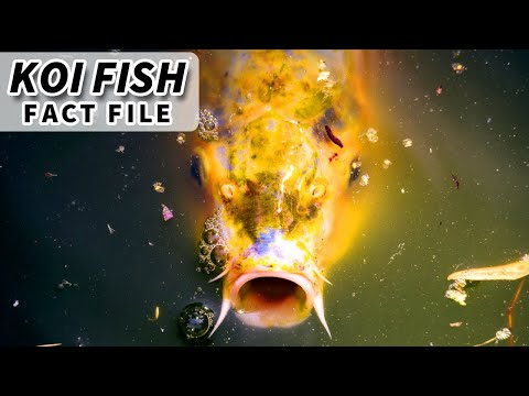Koi Facts: These Fish Can Get Really Old! | Animal Fact Files
