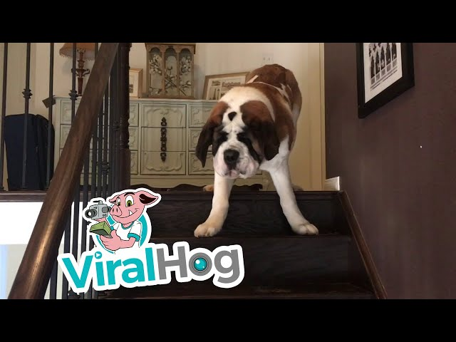 Big Dog Can't Get Down The Stairs!