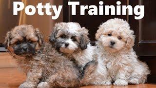 How To Potty Train A Teddy Bear Puppy - Teddy Bear House Training Tips - Teddy Bear Puppies