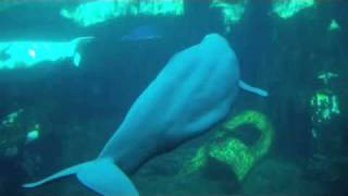 beluga whale baby song whales seaworld singing pm4