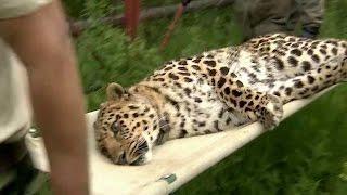 Редкий дальневосточный леопард отправился в Москву обычным рейсовым самолетом.