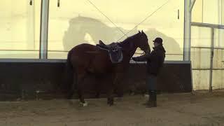 Выездка лошади в руках. Остановки