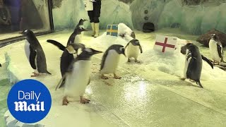 SeaLife penguins predict England World Cup win over Sweden