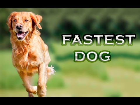 Top 10 Fastest Dogs In The World 2016
