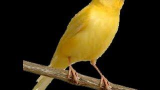 تدفئة طيور الكنار في فصل الشتاء...Heating Canard birds in winter