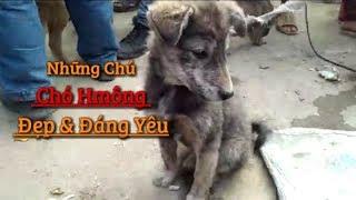 Chợ chó Bắc Hà Lào Cai | Gặp Chó Giống Như SÓI Con | dog market