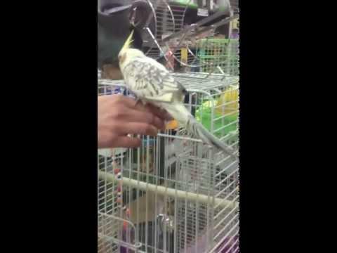 cockatiels---hand-reared