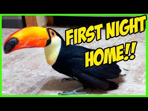 Rescued Toucan's First Night HOME!!! (Toupac the Toucan)