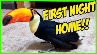 rescued-toucan-s-first-night-home-toupac-the-toucan
