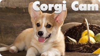 This Live Event Has Ended.     Corgi Puppy Cam
