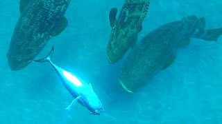 Giant Grouper Eats Inches from Camera - Fishing