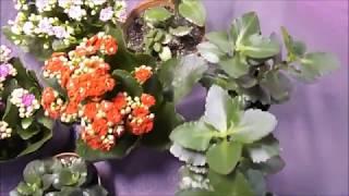 Каланхоэ цветущий не цветет