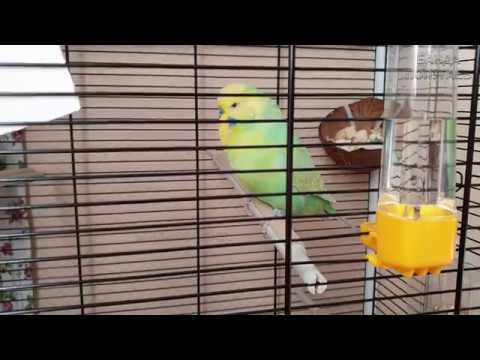 Разговор попугая онлайн видео, девчонки позируют впихивая в попу