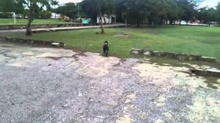 American Pitt Bull Terrier.