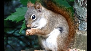 Hiccuping Squirrel