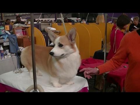 Westminster dog show 2017