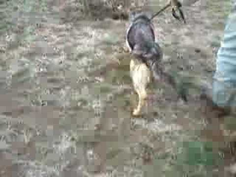 hip-dysplasia---german-shepherd-dog