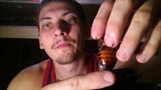 Мадагаскарский таракан: содержание, разведение. Gromphadorhina portentosa