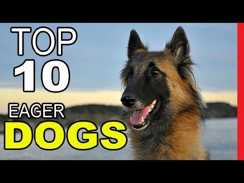 Top 10 Dog Breeds Most Eager To Please  - Video Dogs Breeds - Best Dog Breed Compilation