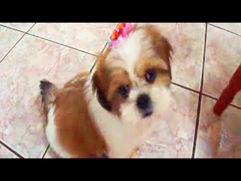 Lhasa apso, filhote, lindo - Liza treinando truques de adestramento - lhasa apso puppy doing tricks