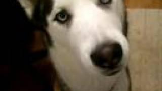 Siberian Husky Kaiser Talks When He Wants Attention