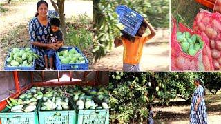 நம்ம தோட்டத்தில் நடந்த மாங்காய் அறுவடை🍋 / Tons of Mango harvesting from our garden / Garden Tour 🍋